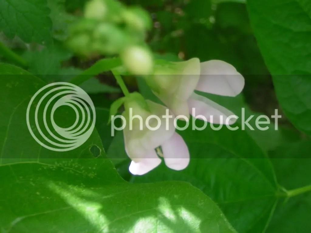 floare de fasole