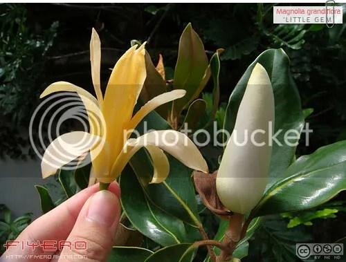 Magnolia grandiflora, แมกโนเลียแกรนดิฟลอร่า, แมกโนเลียดอกใหญ่, แมกโนเลีย แกรนดิฟลอร่า, แมกโนเลีย, ลิตเติ้ล เจม, Little Gem, Southern Magnolia, Evergreen Mangolia, วงศ์แมกโนเลีย, วงศ์จำปี, ต้นไม้, ดอกไม้, aKitia.Com