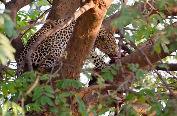 leopardIzzy2.154516.jpg