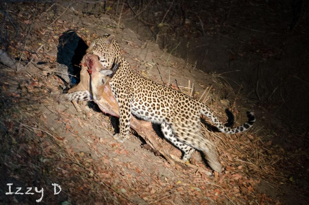 Leopard6OctIzzy7.162733.jpg