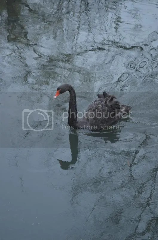 The REAL Black Swan