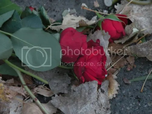 roses that fell out of the dumpster