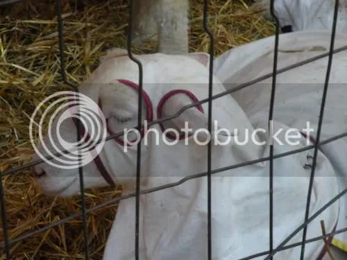 sheep post shearing