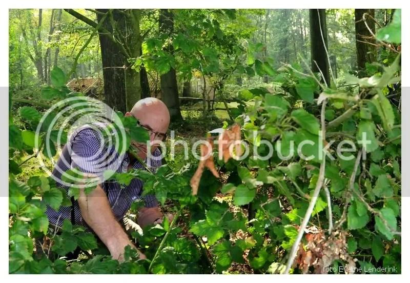 bommelsbramenplukken3.jpg bramen plukken bij de bommelas picture by wandelmus