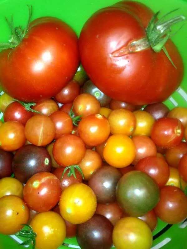 photo tomatoes_zps054d96cd.jpg