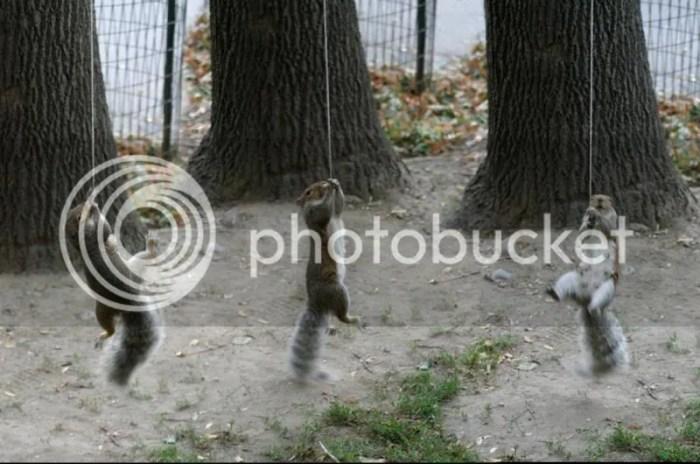 funny sqiurrels climbing rope