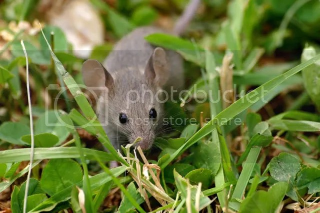 cute mouse photo: Mouse 185092747_9c240a557e_b.jpg