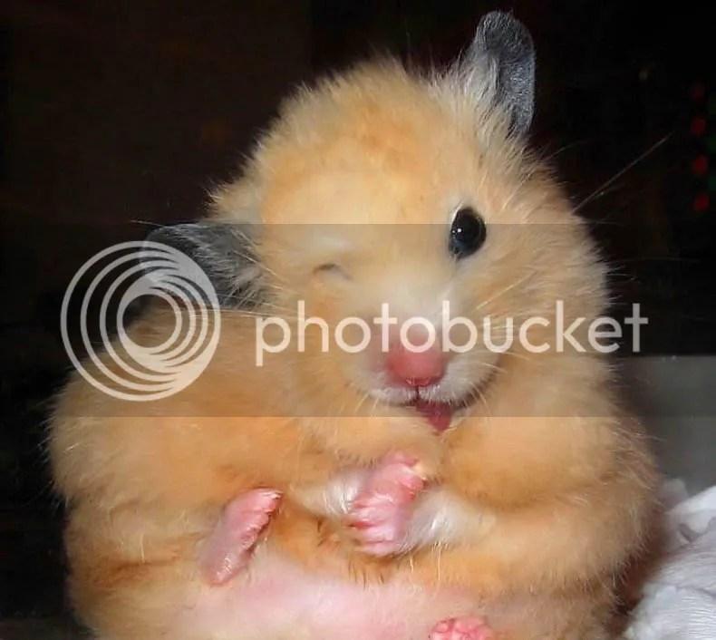 hamster photo:  homyak_17.jpg