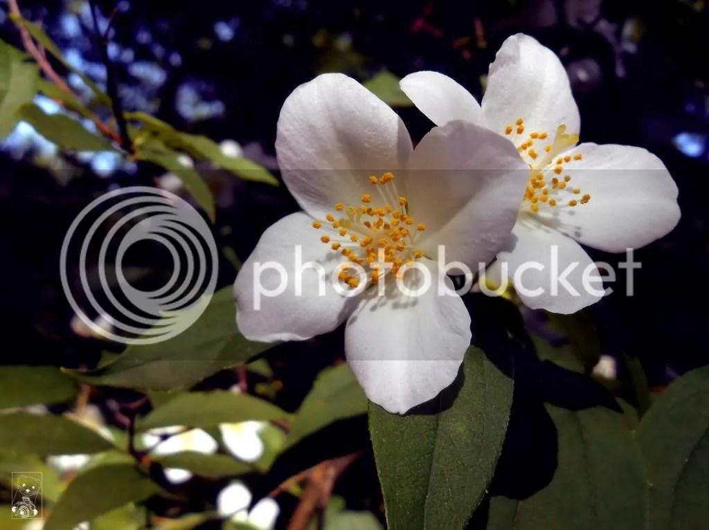 White jasmin flowers in Größergarten in Dresden Germany