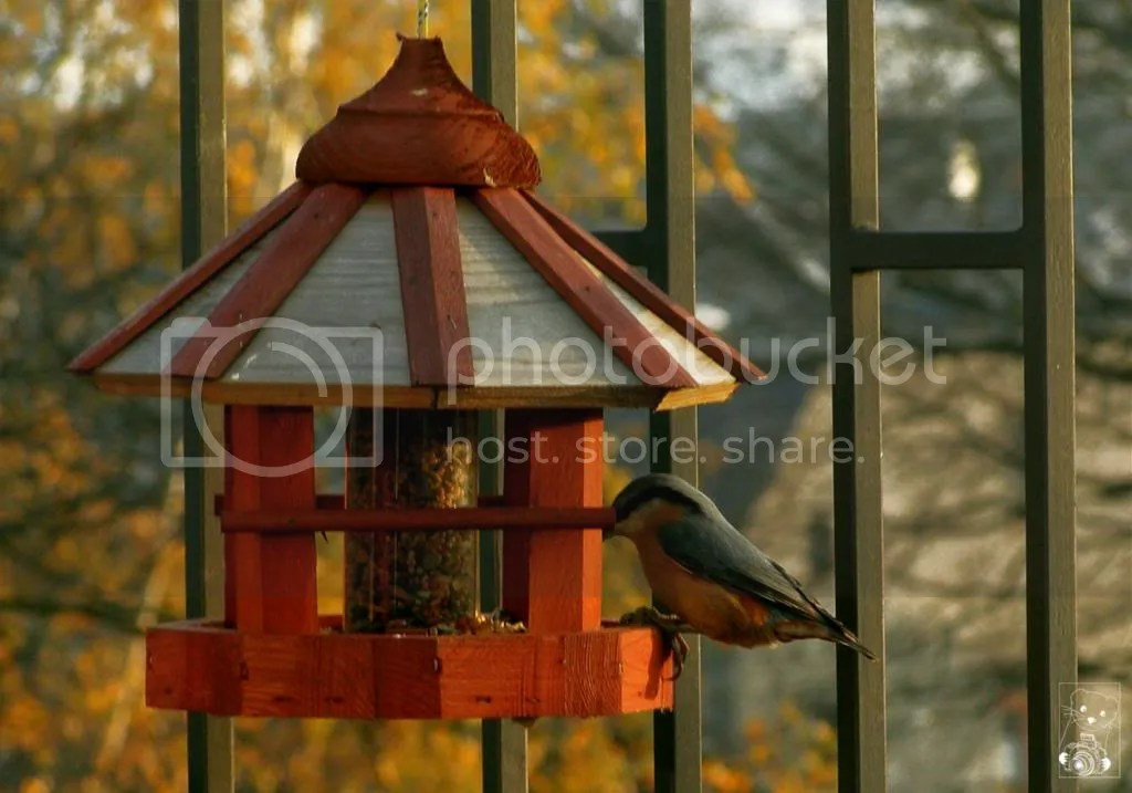 Nuthatch Bird Nature Photography Germany