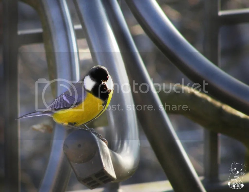 Great tit (Parus major) on our balcony in december - Germany