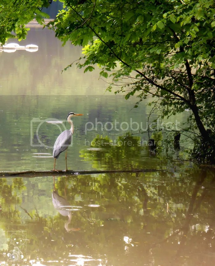 A heron resting on the lake in the Größer Garten in Dresden, Germany
