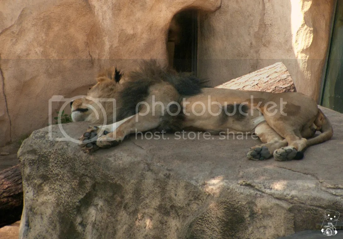 Shaved lion laying on a rock in the hot afternoon at the zoo in Dresden, Germany