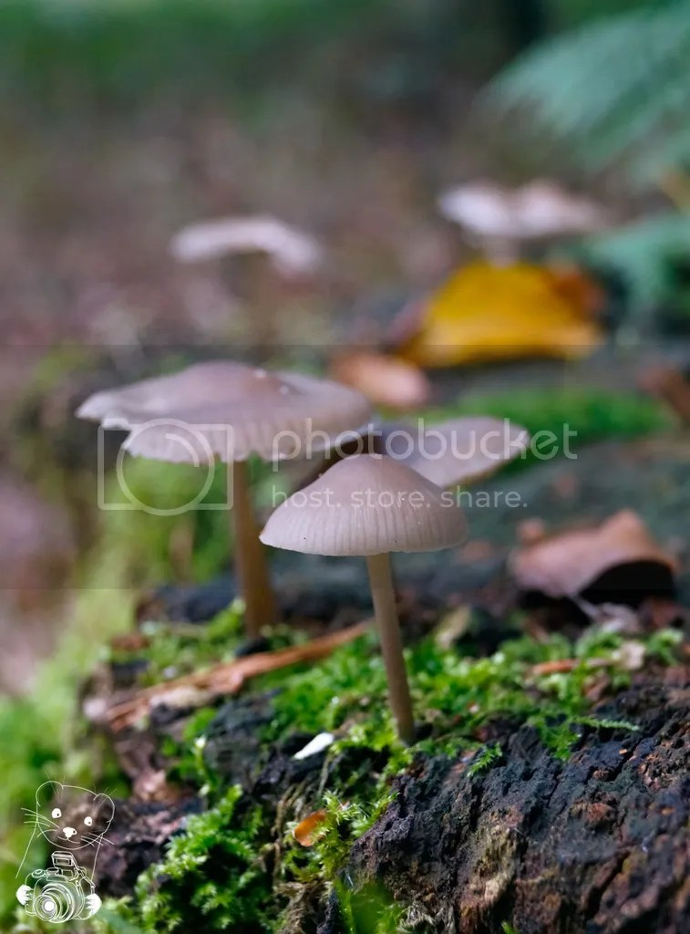 Mycena galericulata - common bonnet - in Laußnitzer Heide, Saxony, Germany