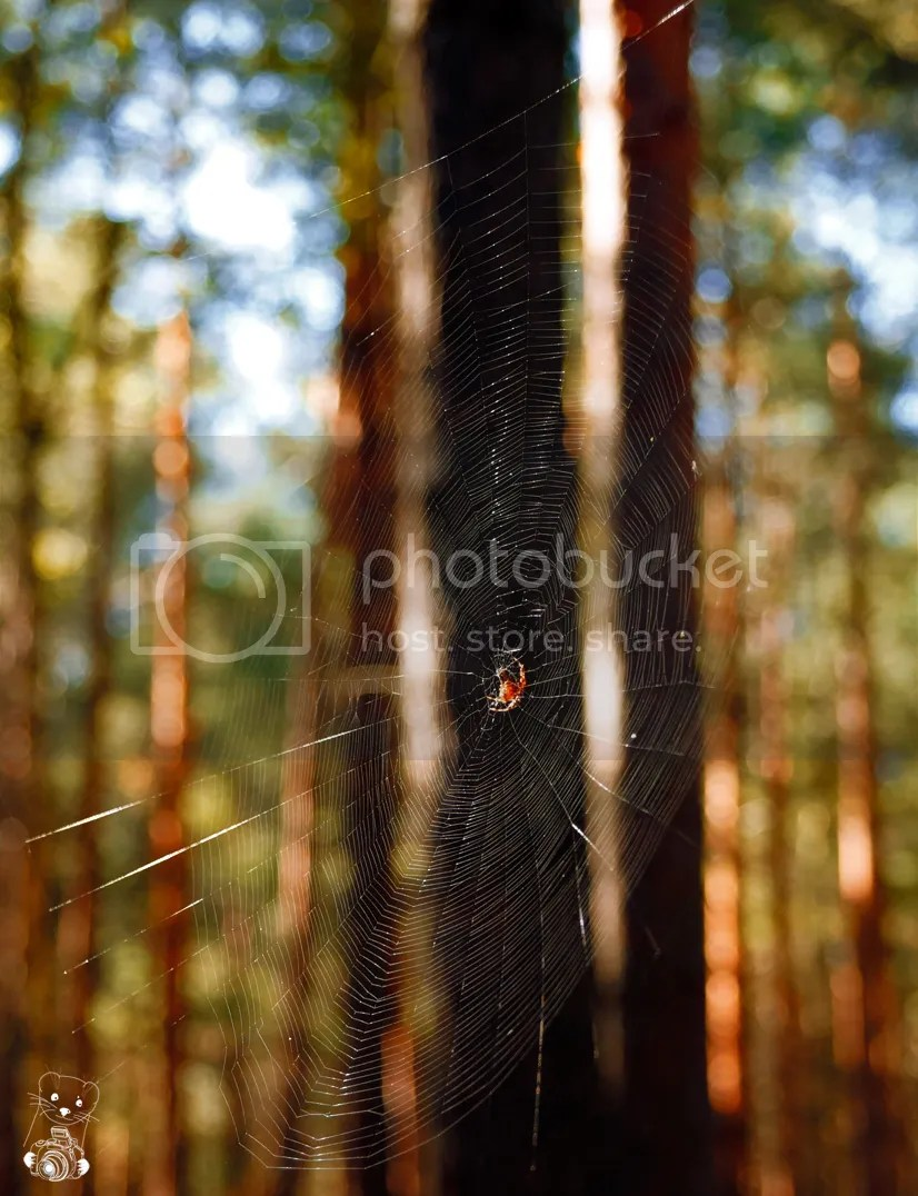 Spider cobweb woven between trees in the forest in Senftemberg in Germany