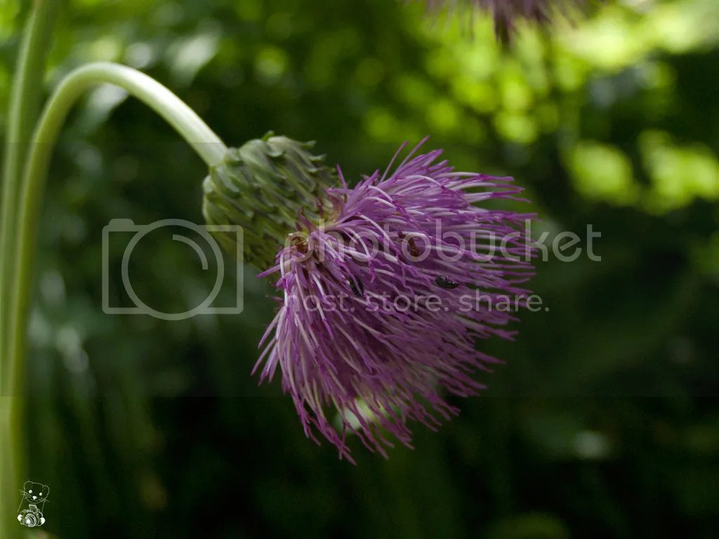 Thistle in bloom in the botanical garden in Bad Schandau, Germany