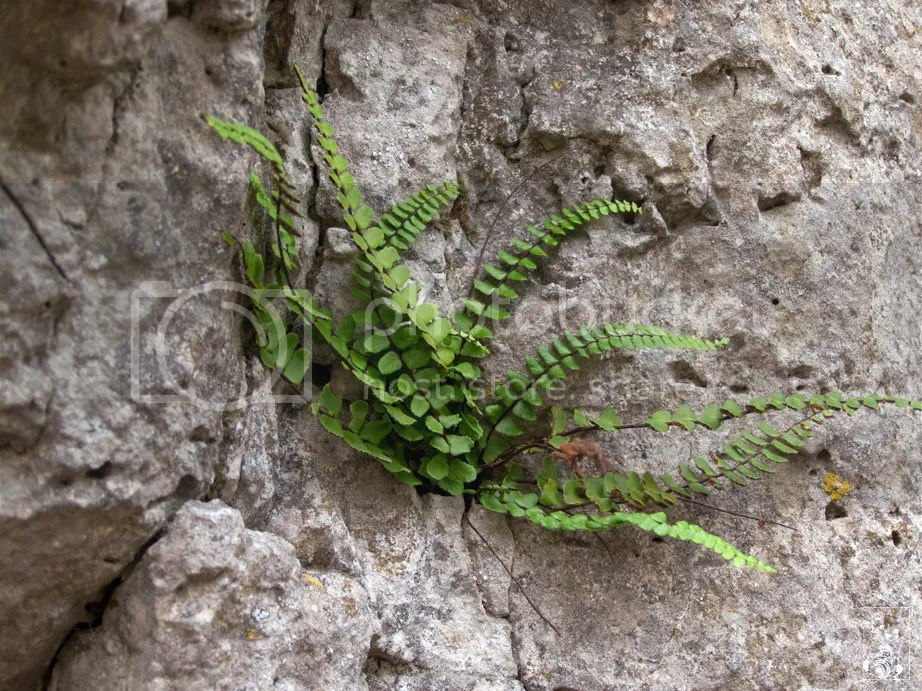 Plant growing in the rock wall near Prunn in East Bavaria, Germany