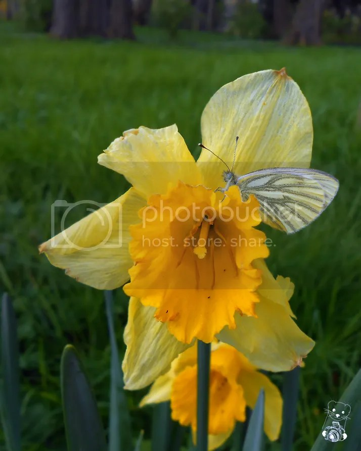White butterfly sitting on a yellow daffodil in the park at Schönfeld, Germany