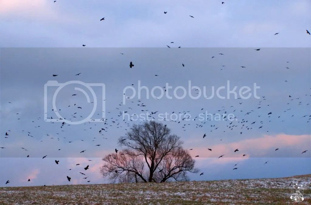 Crows on the field near Nünchritz in Germany, December 2014