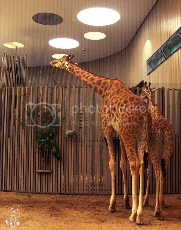 Mother and babygirafe at the Zoo in Dresden, Germany