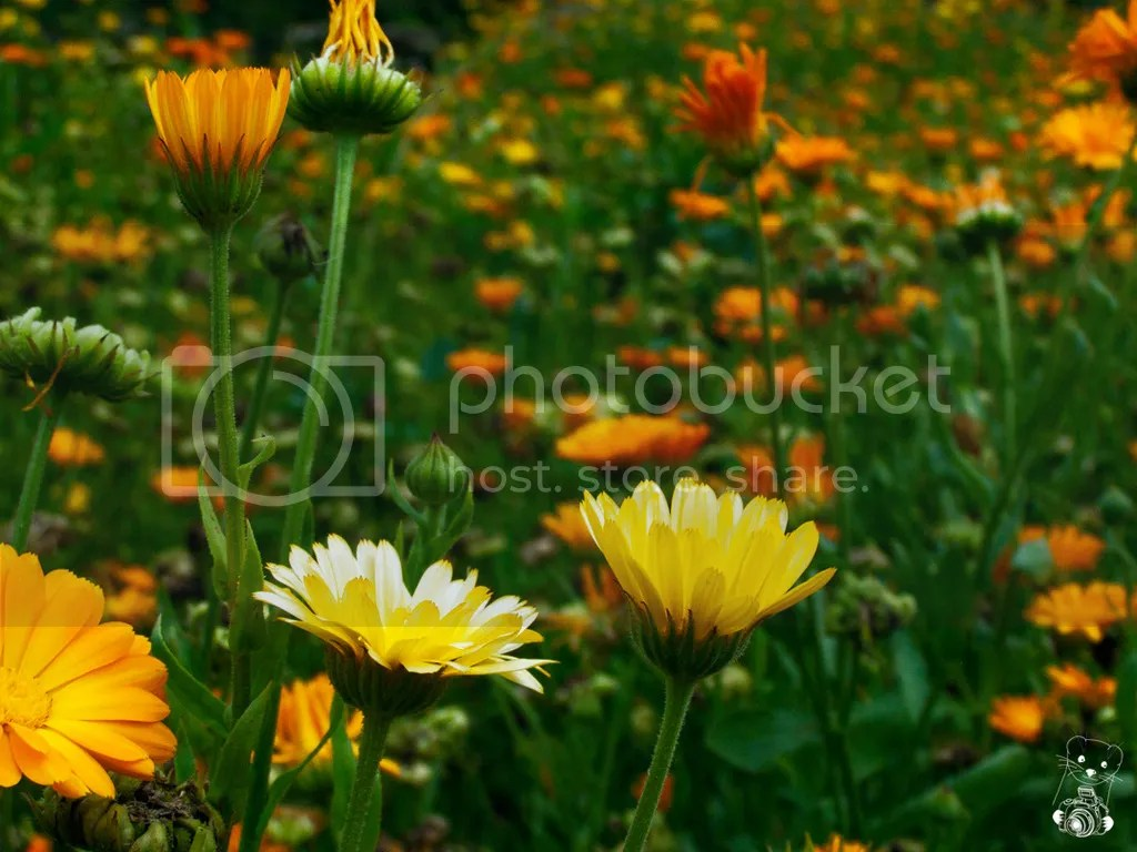 Flowers in the garden at Kloster Buch in Saxony, Germany