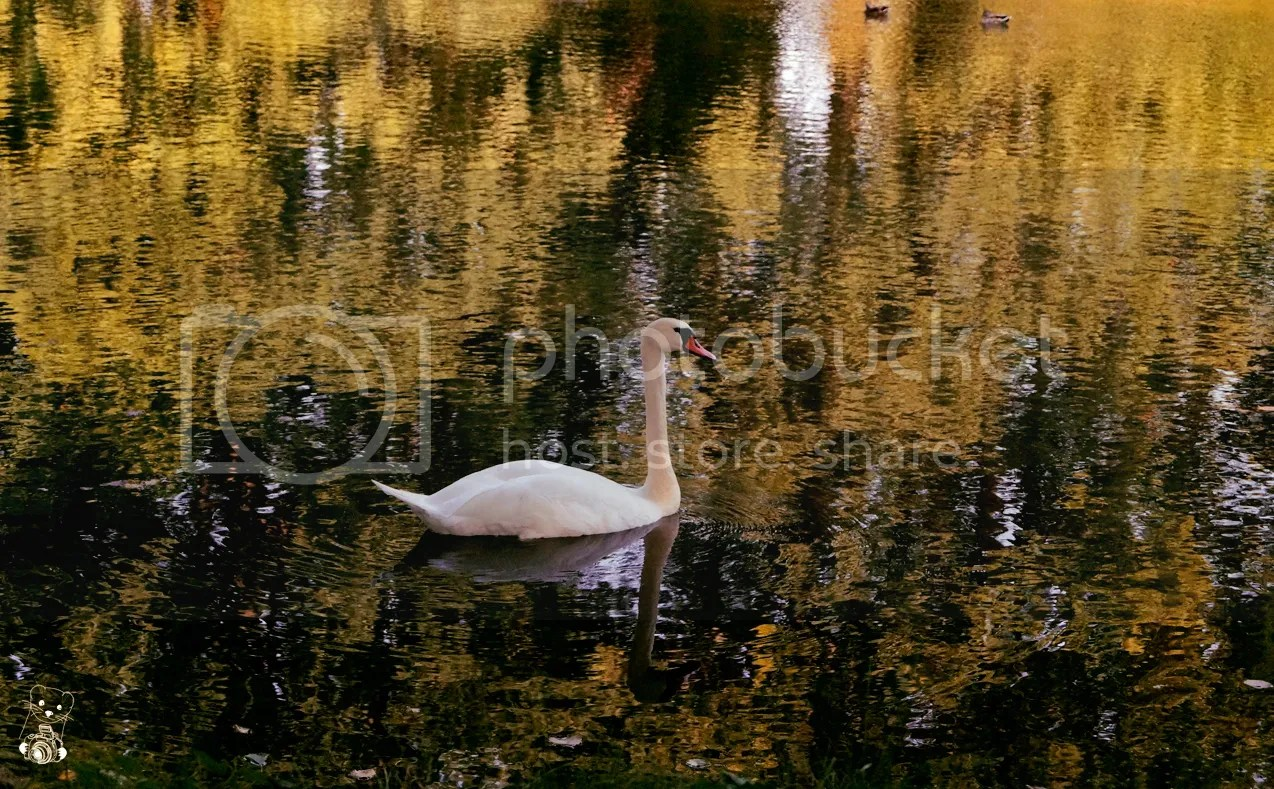 Swan on the lake in the Park Naunhof, in Saxony, Germany