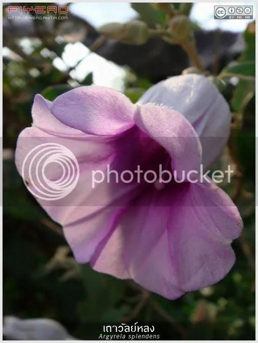 เถาวัลย์หลง, Argyreia splendens, เครือเขาหลง, มันฤาษี, มันฤษี, เครือเขาหลวง, เครือตาปลา, บ่าน้ำป่า, สีจ้อ, ฮ้านผีป้าย, ต้นไม้, ดอกไม้, aKitia.Com