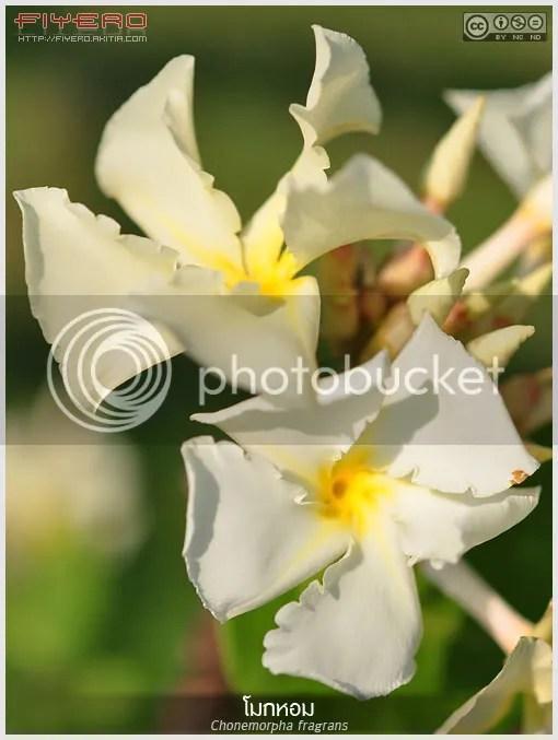 โมกหอม, ต้นโมกหอม, ดอกโมกหอม, Chonemorpha fragrans, Chonemorpha  macrophylla, ไม้ดอกหอม, ไม้หายาก, ไม้เลื้อย, ไม้เถา, Frangipani Vine,  ต้นไม้, ดอกไม้, aKitia.Com