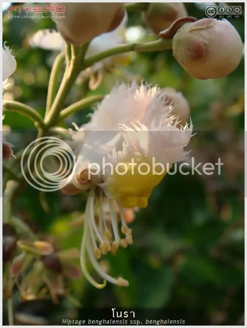 โนรา, ต้นโนรา, ดอกโนรา, ไม้ดอกหอม, ไม้พุ่มรอเลื้อย, ไม้เลื้อย, ไม้ไทย, ไม้หายาก, สะเลา, กะลังจ่าง, แหนปีก, กำลังช้างสาร, พญาช้างเผือก, กำลังช้างเผือก, Hiptage benghalensis ssp. benghalensis, Helicopter Flower, ต้นไม้, ดอกไม้, aKitia.Com