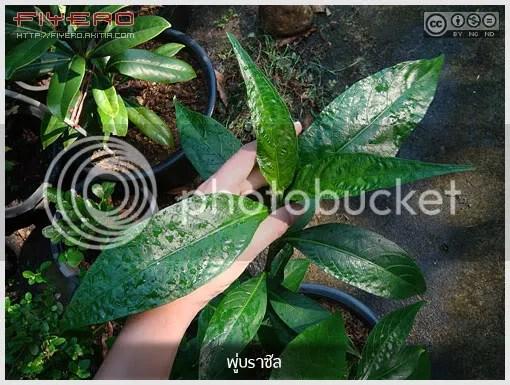 พู่บราซิล, Schaueria flavicoma, Schaueria calycotricha, Golden Plume, ไม้ใหม่, ดอกสีขาว, ไม้พุ่ม, ต้นไม้, ดอกไม้, aKitia.Com