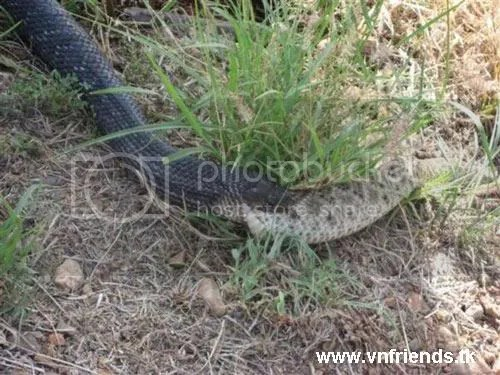 rắn xơi rắn,tranh ảnh vnfriends.tk