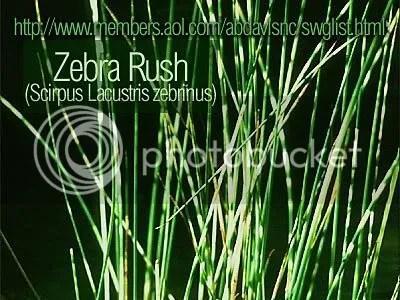 Zebra rush