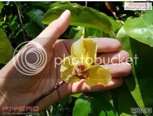 ลำดวนดอย, Mitrephora wangii, ไม้ดอกหอม, วงศ์กระดังงา, ต้นไม้, ดอกไม้, aKitia.Com