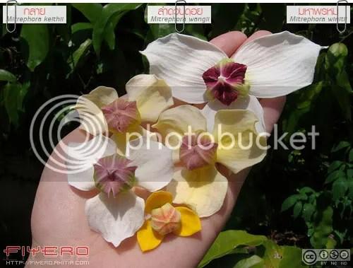 มหาพรหม, Mitrephora winitii, ลำดวนดอย, Mitrephora wangii, กลาย, Mitrephora keithii, ไม้ดอกหอม, วงศ์กระดังงา, ต้นไม้, ดอกไม้, aKitia.Com