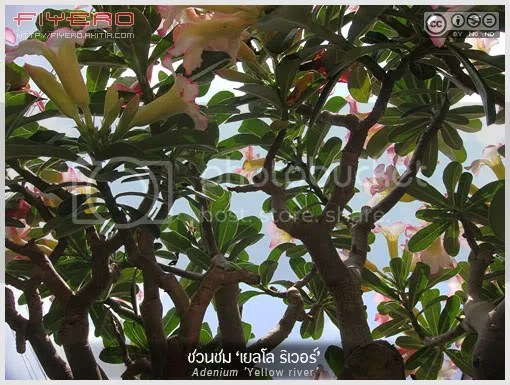 ชวนชม, เยลโล ริเวอร์, ไม้อวบน้ำ, Adenium, Yellow river, Adenium obesum, ไม้โขด, ไม้ดอก, Sabi Star, Kudu, Desert-rose, ต้นไม้, ดอกไม้, aKitia.Com