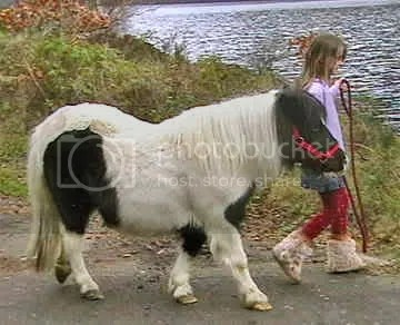 Shetland Pony, picture by gotpetonline.com