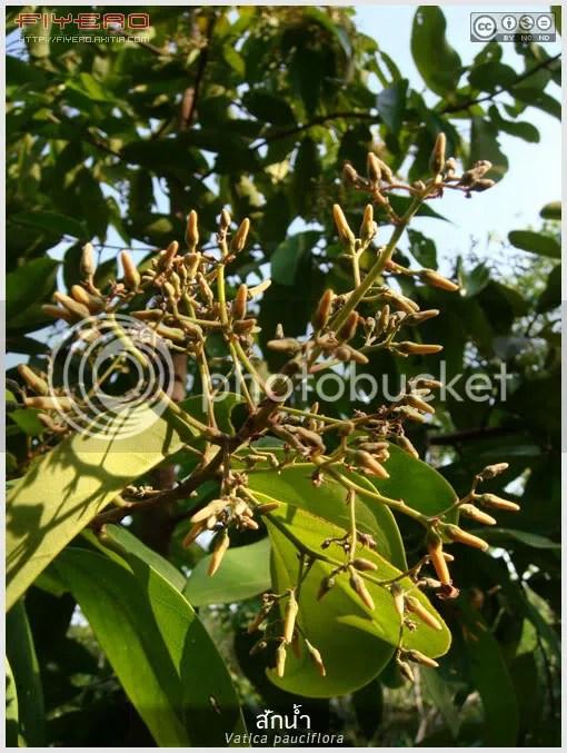 สักน้ำ, ต้นสักน้ำ, ดอกสักน้ำ, สัก, กล้วย, ไม้ดอกหอม, ไม้หายาก, ไม้ไทย, Vatica pauciflora, ไม้ยืนต้น, ต้นไม้, ดอกไม้, aKitia.Com