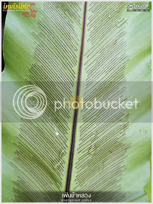 เฟินข้าหลวง, ข้าหลวงหลังลาย, Asplenium, เฟิน, ในร่ม, รำไร, เกาะต้นไม้, ไม้ใบ, อิงอาศัย, ใต้ร่ม, ไม้ประดับ, ต้นไม้, aKitia.Com