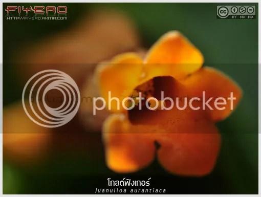 โกลด์ฟิงเกอร์, Gold Finger, ดอนฮวน, Juanulloa mexicana, Juanulloa aurantiaca, ไม้เลื้อย, ไม้พุ่มกึ่งเลื้อย, ไม้แปลก, ไม้หายาก, ดอกสีส้ม, Don Juan Plant, Guacamaya Vine, ต้นไม้, ดอกไม้, aKitia.Com