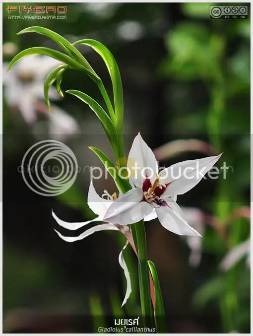 มยุเรศ, แกลดิโอลัสหอม, Gladiolus callianthus, Acidanthera, ไม้ดอกหอม, ไม้หายาก, Peacock Flower, Abyssinian gladiolus, Fragrant gladiolus, Sword lily, ไม้หัว, ดอกสีขาว, ต้นไม้, ดอกไม้, aKitia.Com
