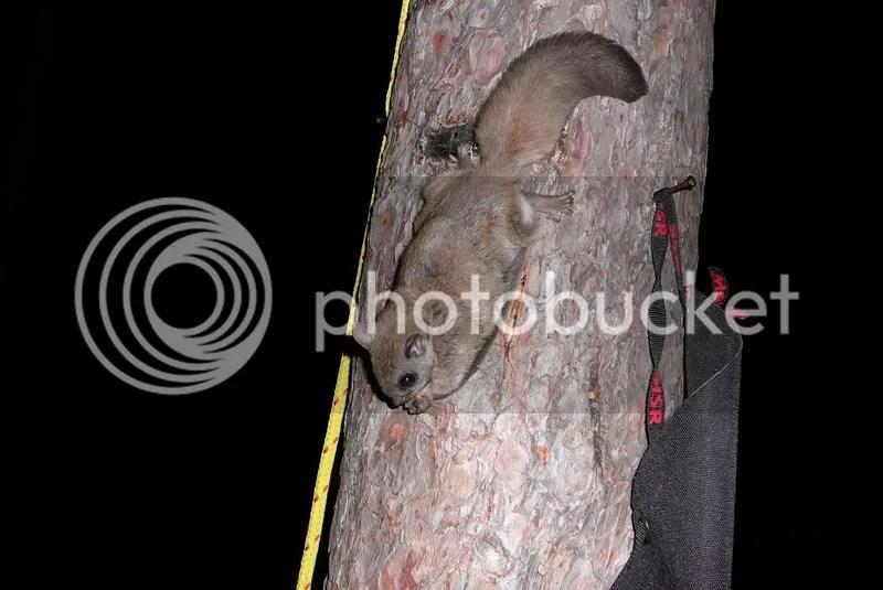 445.jpg northern flying squirrel image by camper-mike