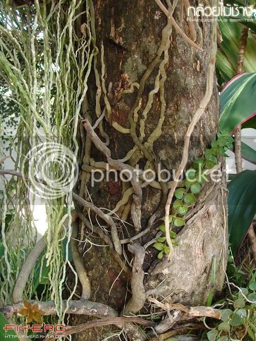 กล้วยไม้, ช้าง, กล้วยไม้ช้าง, สกุลช้าง, ช้างบ้าน, ช้างป่า, Rhynchostylis gigantea