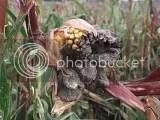 première,bac pro,PV,TP,maïs,mfr haussy,septembre,2010