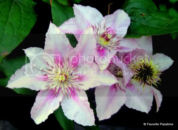 pinklineflower