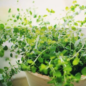 Oregano: Six Easy Herbs to Get You Started Growing Your Own Medicine- Country Mouse City Spouse