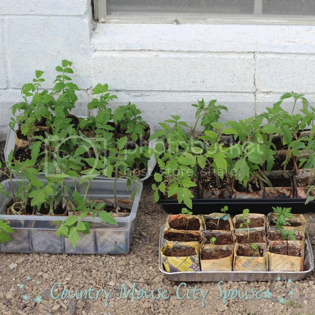 Hardening off Seedlings: Why Do I Have to Do That?- Country Mouse City Spouse It is much more economical to start your garden from seeds than purchasing expensive, nursery-raised. | Gardening | Homemaking | Self-Sufficient | Seed Starting | Growing Your Own | Home Economics |