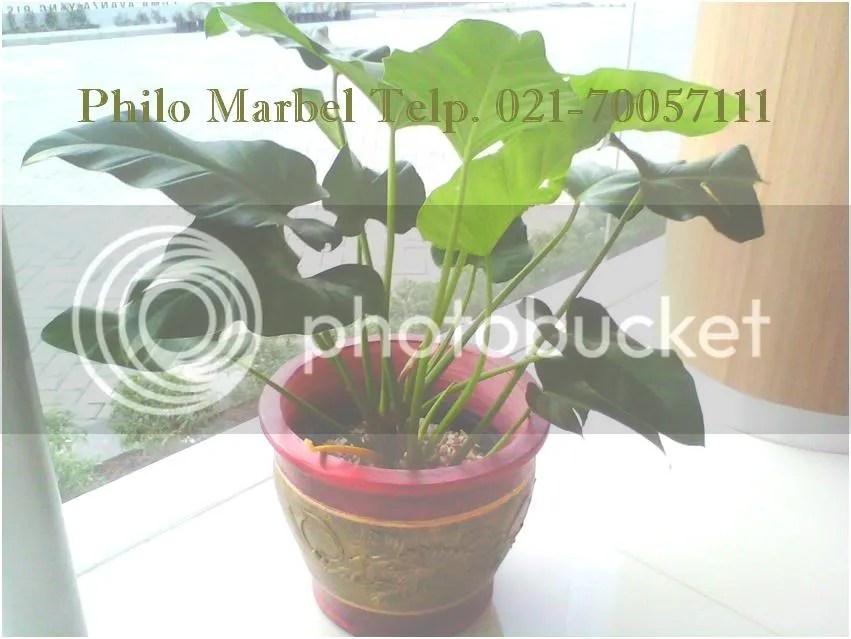 phillo marbel tanaman ukuran sedang