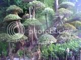 bonsai raksasa,Bougenvile raksasa