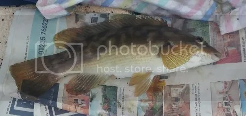 Typical Ballan Wrasse from Swanage Pier