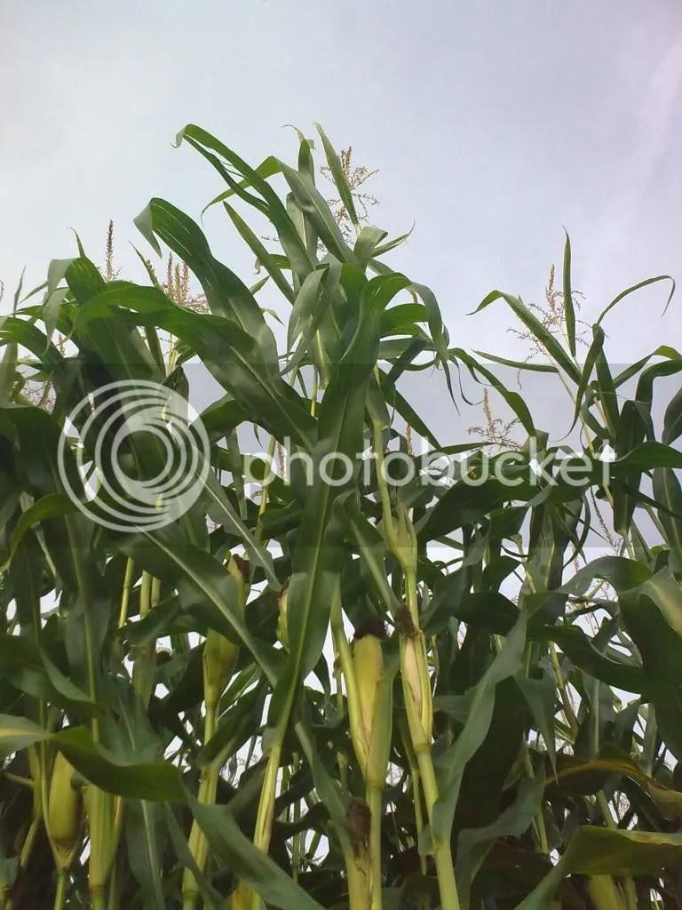 Het mais stond er mooi op :D